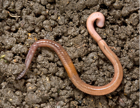 UK earthworm tail dropping